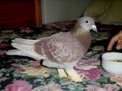 pidgeon with 2 broken legs